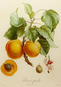 Apricot Peach Fruit Art (Kitchen Wall Art Print, 19th Century Artist) No. 89
