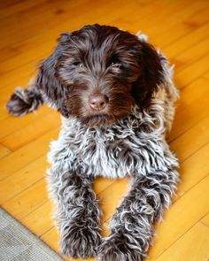 Bowie at 12 weeks. Wirehaired pointing griffon. Korthals griffon.