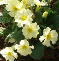 2013 a new primrose will herald springtime in Washington. A special Irish primrose has been named in honour of the maternal ancestral village of USA President Barack Obama. I'm not a fan of Obama but love the Primrose!