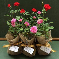 E assim ficaram as rosinhas de hoje! SEM FILTRO! É muito amor em forma de rosinha - os convidados do casamento da Gabriela e o Peterson irão amar!!! ❤️ #lejardin #lepetitvert #lembrancinha #lembrancinhas #lembrancinhaecochic #lembrancinhacomflores #lembrancinhacommudinha #roseirinhas #rosinhas #roseira #mudinhas #muitoamor
