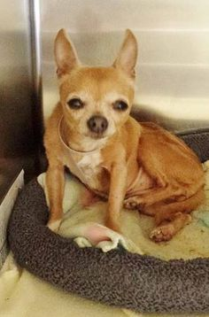 SAFE---#A4803409 * SENIOR ALERT* I'm an approximately 10 year old female chihuahua sh. I am not yet spayed. I have been at the Carson Animal Care Center since February 25, 2015. I will be available on March 2, 2015. You can visit me at my temporary home at C407.  http://www.petharbor.com/pet.asp?uaid=LACO1.A4803409  Carson Shelter, Gardena, CA