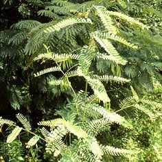 Sesbania virgata (rama negra,, acacia cafe) (fabaceae).