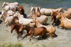 Andalusian mares taking bath.jpg - Herd of Andalusian mares taking bath in hot…