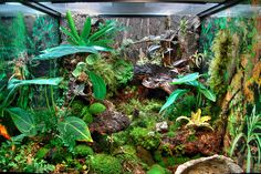 """A 25 gallon (18"""" x 18"""" x18"""" Exo-Terra) vivarium project housing live plants and White's Tree Frogs. My hopes are that everything is balanced to the point where animal waste will sustain the flora and beneficial baterium in the substrate. Hydroton base layer with a blend of coconut-based substrate fibers/soil/chunks and New Zealand sphagnum moss. Fogger system, 98 CRI full spectra fluoro lighting on day timer. Day/night heat pads controlled via thermostats. Plants include (or will incl..."""