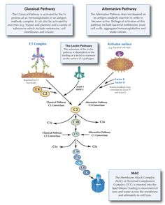 Complement - Classical pathway, Alternative pathway, Lectin pathway | Primary Immunodeficiency | Binding Site - The Specialist Protein Company