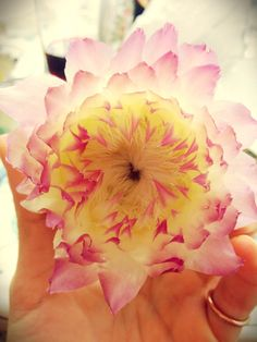 A flower or a artichoke? | Flickr - Photo Sharing! #artichoke #carciofo #fiore #flower #pink #rosa