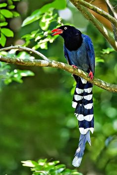 TAIWAN BLUE MAGPIE.Pinned by Pincounter