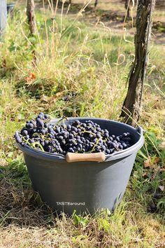 """""""Vom Wein zum Sekt""""  #wein #wine #sparklingwine #sekt #pfalz #familyprojekt #tastearound #weinlese #harvest #trauben #weintrauben #grapes #palatinate"""