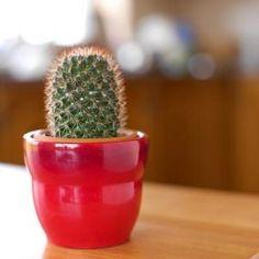 baby cactus plant