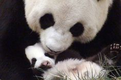 At the Giant Panda Breeding and Research Base in Chengdu—capital of China's Sichuan province—She was born in July, the first offsping of two pandas given to Taiwan as part of some panda-diplomacy by China.