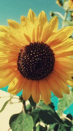 Backyard Sunflower