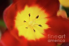 Impresionist Soft Tones Tulip by Camelia C Yellow Tulips, Wall Art, Abstract, Floral, Red, Summary, Flowers, Flower, Wall Decor