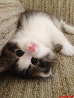 Ridiculously photogenic adorable kitty - http://cutecatshq.com/cats/ridiculously-photogenic-adorable-kitty-2/