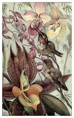 Catasetum y Cypripedium-News of spring and other nature studies 1917- Ilustrado por Edward J. Detmold