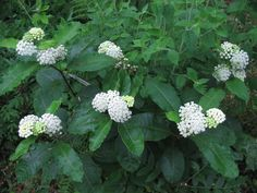 Image result for asclepias variegata