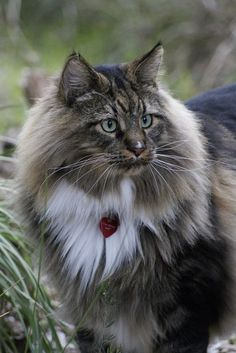 Cats Maine Coon - 28 Pics