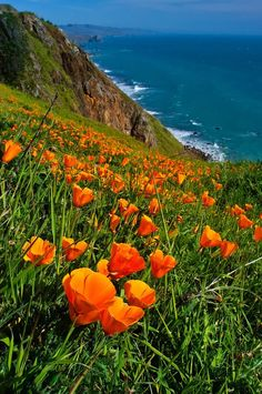 Poppy on the Sonoma Coast; photograph by Paul Gill.California Poppy on the Sonoma Coast; photograph by Paul Gill. Beautiful World, Beautiful Places, Beautiful Pictures, Landscape Photography, Nature Photography, Sonoma Coast, California Poppy, California Coast, Amazing Nature