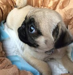 Cute Pug Puppy wants someone to play with.