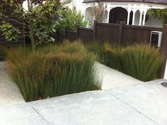 using oioi as a landscape plant - Google Search