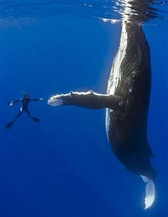 Humpback whale and diver shaking hands on migratory route (South Pacific Ocean) by Masa Ushioda