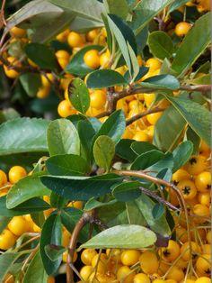 Foliage of Pyracantha Soleil d'Or - Firethorn. Evergreen, Shrubs, Shrub