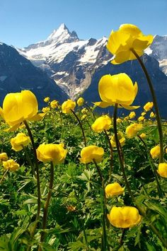 Alpine Globeflower meadows at 6000ft with the Eiger behind.