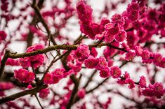 cherry blossoms - http://www.beautifullife.info/art-works/wonderful-cherry-blossom-season/