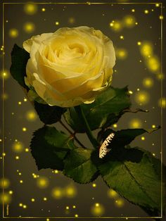 GIFs, messages and Images: Gifs of roses Beautiful Love Pictures, Beautiful Gif, Beautiful Roses, Rose Images, Flower Images, Flowers Gif, Love Flowers, Beautiful Butterflies, Amazing Flowers