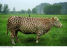 leopard Cow