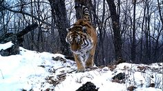 Cupid draws back his bow: Budding romance for Siberian tigers | IFAW.org