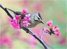 #389 冠羽簪櫻  (Wear Flower) by John, via Flickr