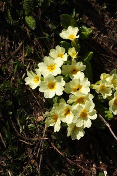 A Day On A Bear Mountain - Primrose - Primula vulgaris