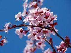 Cherry Blossom Wax Melt