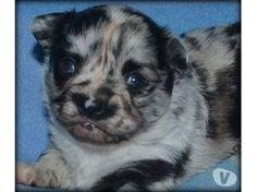 Photos Vivastreet Chiot Chihuahua Bleu-merle poils longs