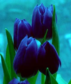 Rare blue tulips                                                                                                                                                                                 More