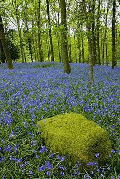 moss-covered rock and bluebells in Forest of Dean, Gloucestershire, England