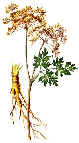 """Dong Quai (Angelica sinensis) is also known as Chinese Angelica and is primarily known for its uses in treating women's problems including lack of sexual desire, the symptoms of menopause, cramps and PMS. For this reason also commonly known """"female ginseng""""."""