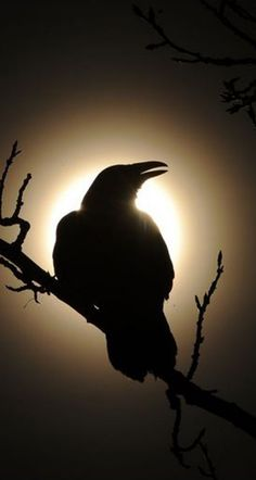 black bird A raven calls out while silhouetted by the sun and perched in a tree between W Ave and Benson Blvd on Thursday, March (Bob Hallinen / ADN) Crow Art, Raven Art, Bird Art, Raven And Wolf, Jackdaw, Crows Ravens, Art Graphique, Dark Beauty, Beautiful Birds