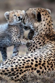 mom and baby cheetah...