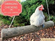 Swings for Chickens... This is soo cute and looks like fun! Fresh Eggs Daily®: Swinging Chickens: Make an Easy DIY Log Swing for your Run