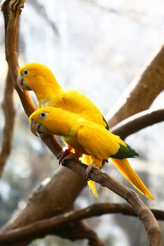 The Golden Parakeet or Golden Conure,(Guaruba guarouba), is a medium-size golden yellow Neotropical parrot native to the Amazon basin of interior northern Brazil.