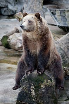Because, if you're gonna be a bear. be a GRIZZLY! bear- Love the poise! Nature Animals, Animals And Pets, Funny Animals, Cute Animals, Animals Images, Wild Animals, Baby Animals, Beautiful Creatures, Animals Beautiful