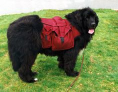 Voyager Newfoundlands - Learn About the Newfoundland Dog Breed