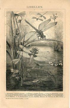 1898 Dragonfly Antique Print Vintage Lithograph by Craftissimo, Olive Green Wallpaper, Orange Wallpaper, Dragonfly Illustration, Antique Illustration, Vintage Illustrations, Art Nouveau, Dragonfly Art, Dragonfly Larvae, Sibylla Merian