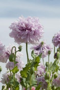 Papaver somniferum var. paeoniflorum 'Lilac Peony' Seeds £2.48 from Chiltern Seeds - Chiltern Seeds Secure Online Seed Catalogue and Shop