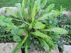 Dandelion Root as a Vegetable