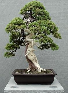 U.S. National Arboretum - Bonsai Images - Page 1