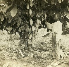 Picking Cocoa, Jamaica | by The Caribbean Photo Archive
