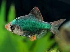 Betta Aquarium, Tropical Fish Aquarium, Freshwater Aquarium Fish, Fish Ocean, Animals Live In Water, Animals Sea, Bow Front Aquarium, Tetra Fish, Fish Breeding