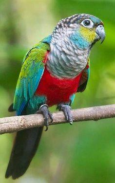 Crimson-bellied Conure Parrot